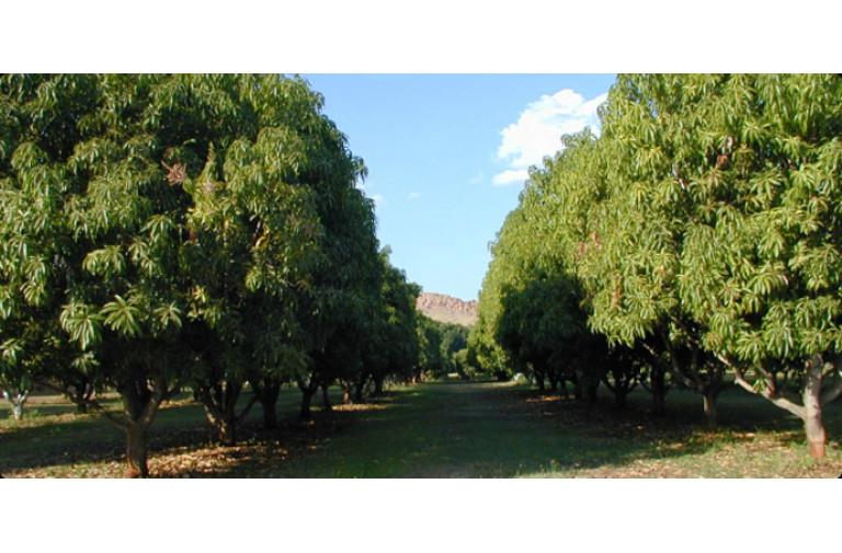 Mango garden per acre 38 lakhs (Prathipadu)
